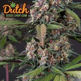 marijuanaseedbank7812