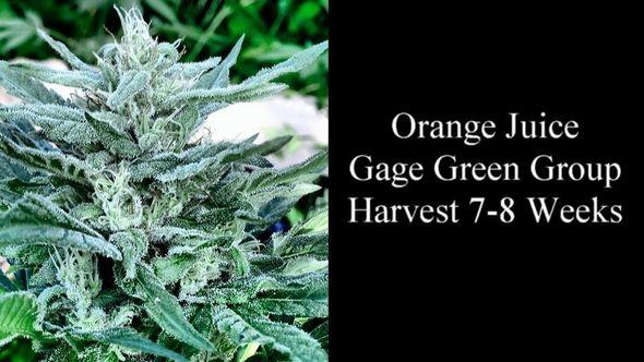 Orange Cannabis Strain Guide