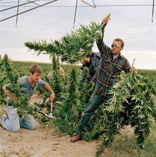 organicweedmarijuanagrowersgogreen6770