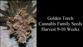 purplecannabisstrainguide6989