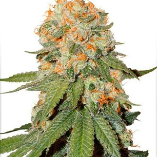 weedseeds4u7813