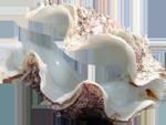:clam: