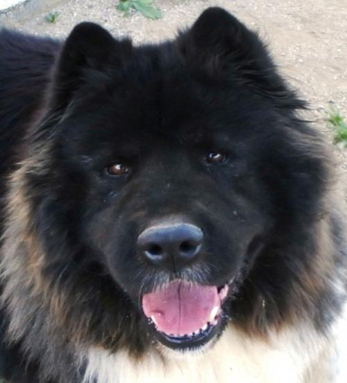 Akita Rescue Southern California A Passion For Paws
