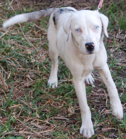 Serefine The Deaf Catahoula S Web Page