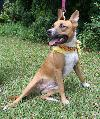 Trinity the Basenji/Boxer Mix