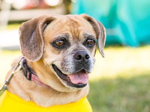 puggle rescue groups