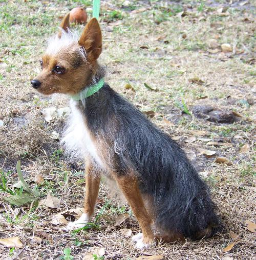 chihuahua and yorkie mix mimi the chihuahua yorkie mix s web page 1852