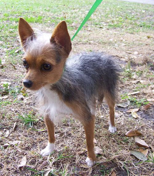 chihuahua and yorkie mix mimi the chihuahua yorkie mix s web page 6124