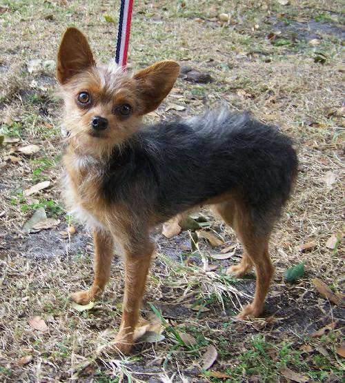 chihuahua and yorkie mix coco the chihuahua yorkie mix s web page 6886