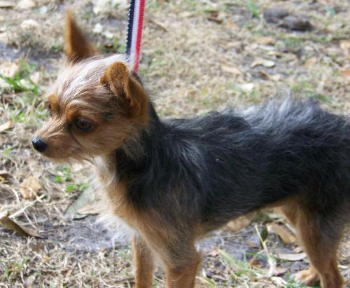 chihuahua and yorkie mix coco the chihuahua yorkie mix s web page 548