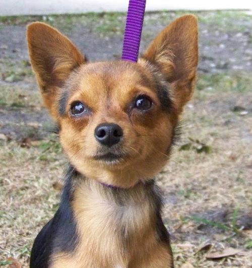Junior The Chihuahuayorkie Mixs Web Page