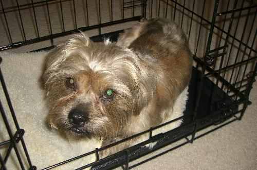 Clipper The Shih Tzuyorkie Mixs Web Page