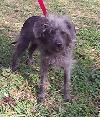 Iggy the Poodle/Chinese Crested Mix
