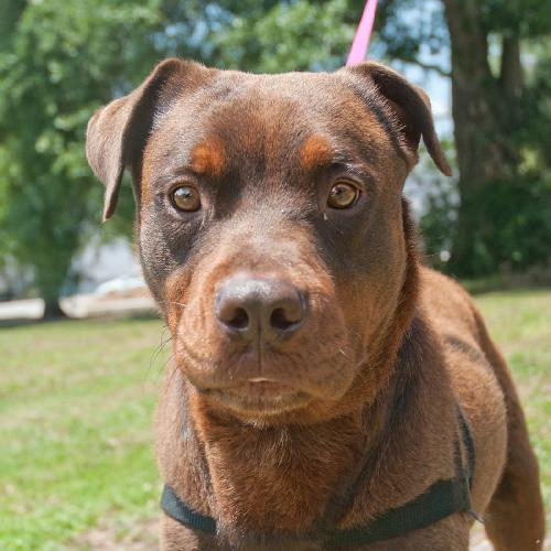 Zeus The Chocolate Rottweiler Mix S Web Page