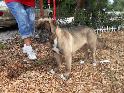 Other Pictures of Jack the Big Anatolian Shepard/ Mastiff Mix Puppy ...