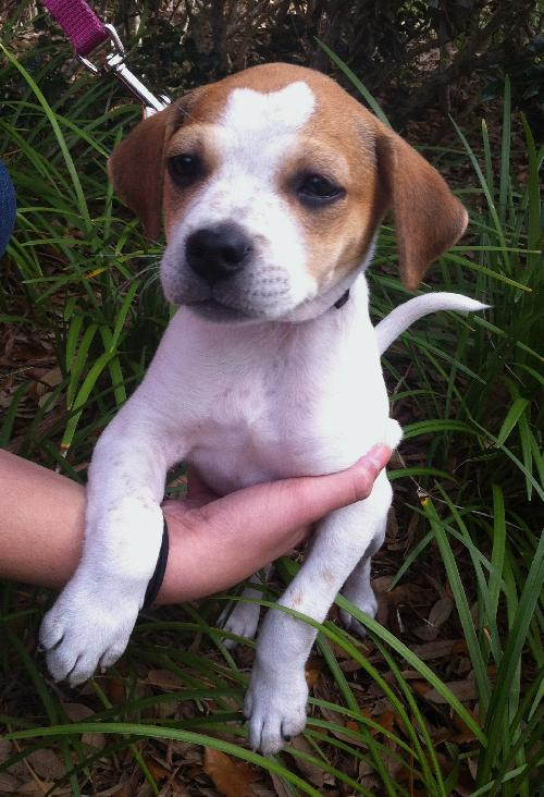beagle jack russell puppy