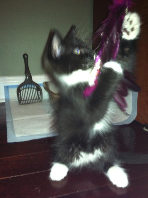 Chance The Maine Coon Mix Tuxedo Kitten S Web Page