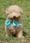 Timmy the Poodle/JRT Mix