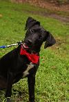 Artie the Trained Patterdale Terrier Puppy