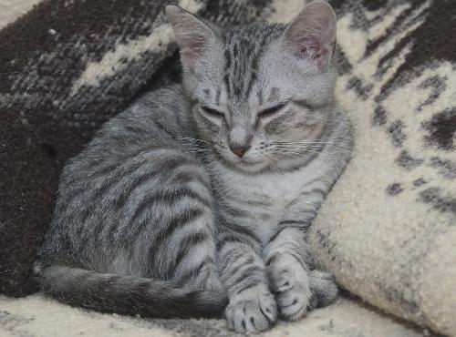 Bugsy The Loving Silver Tabby Kitten S Web Page
