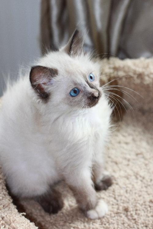 Image result for persian siamese mix