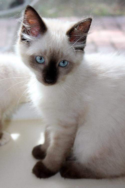 Siamese / Persian (short coat) : : Female (spayed) : : Baby : : Small