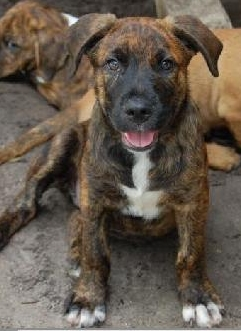 hunter the brindle puppy s web page