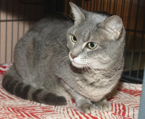 Pumpkin The Chatty Declawed Tabby S Web Page