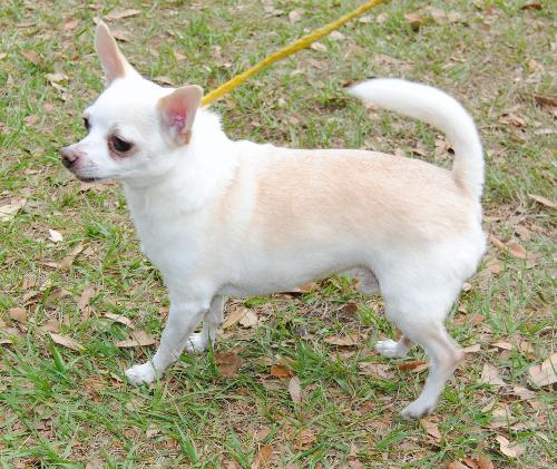 Felippo The White Chihuahua S Web Page