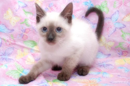 montana the chocolate point siamese kitten s web page