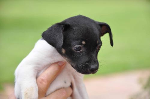 Amy The Rat Terrier Puppy S Web Page