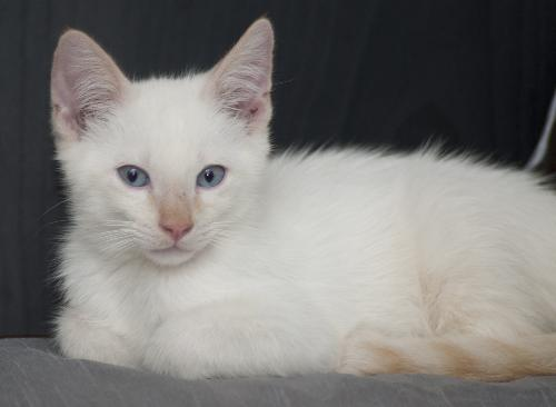 Ozzie The Flame Point Siamese Diva Kitten S Web Page