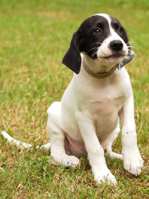 rachel the ucf pointer puppy s web page