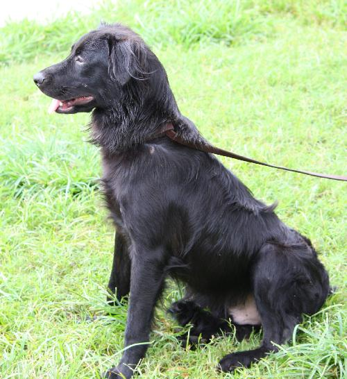 A+Rich the Loving Flat-Coated Retriever's Web Page