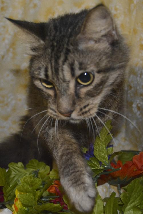 Alana The Pretty Maine Coon Mix S Web Page