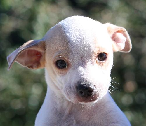 snowball the whippet blend puppy s web page