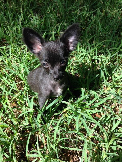 Pixie the Fluffy Chi Pup