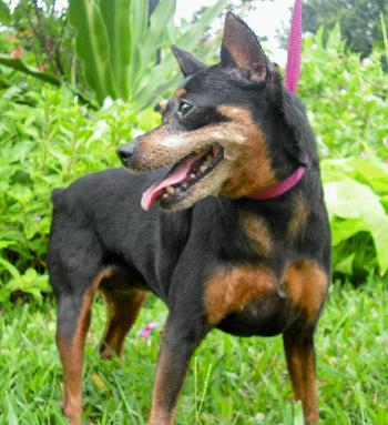 how to train a miniature pinscher not to bark