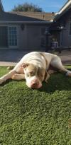 Bluebelle - I Need A Foster!