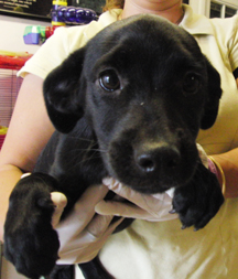 Dachshund Lab Mix Puppies Web Page