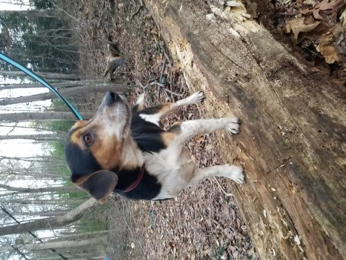 Beagle / Jack Russell Terrier / Mixed (short coat) Dog