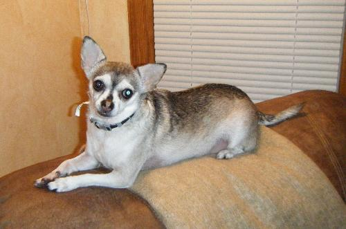Lucy - Chihuahua