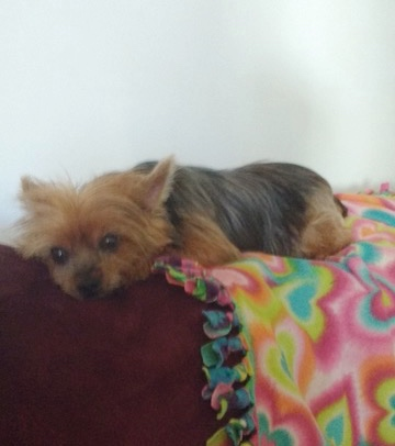 Foster A Yorkie
