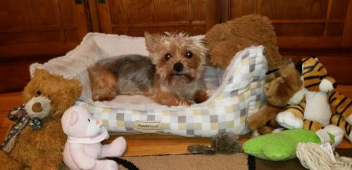Welcome Save A Yorkie Rescue