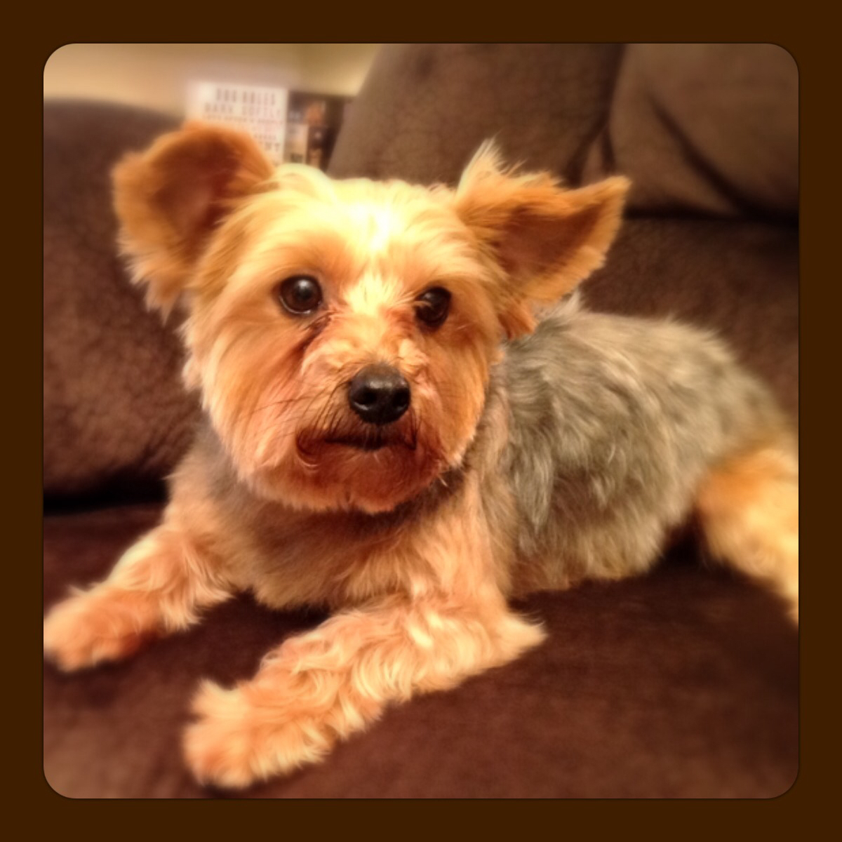 yorkie rescues dallas web page 750