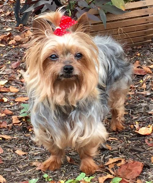 Rescue a yorkie in pa