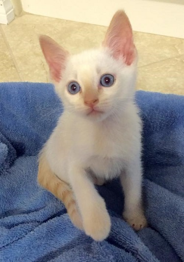 Adopt Avery the Flamepoint Siamese Mix Kitten from cats-can inc in