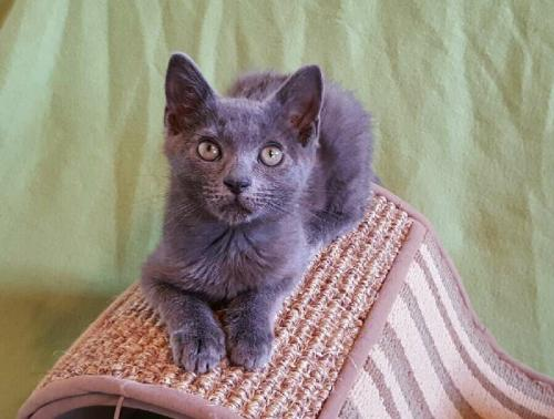 Asha the Russian Blue Mix's Web Page