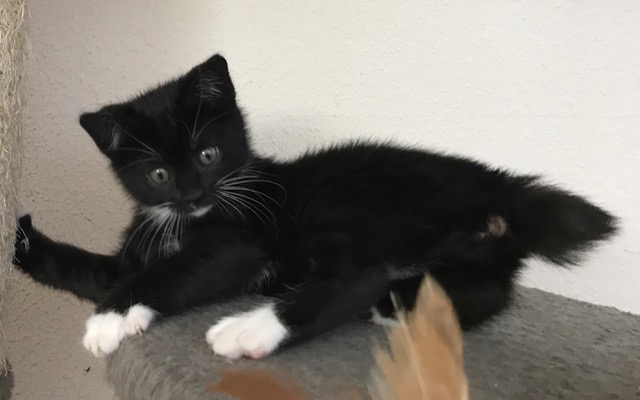 Adopt Mars The Bobtail Tuxedo Kitten From Cats Can Inc In
