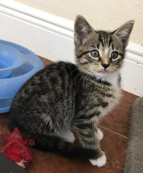Adopt Jenny The White Paw Tabby Kitten From Cats Can Inc In Oviedo Fl